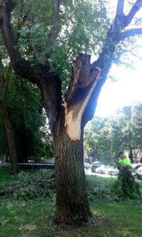 Olmo del que se desprendió la rama.