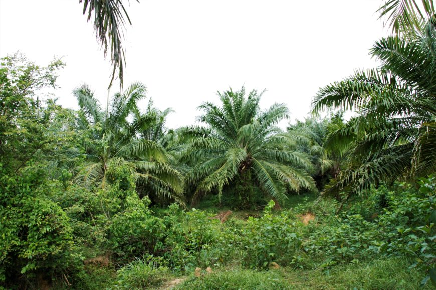 Plantación de palma de aceite en los Montes de María. / Foto: María Rado