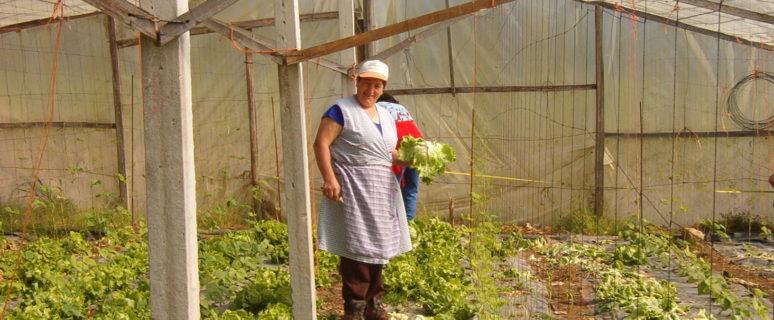 Una hortelana recoge su producción de lechugas de su explotación familiar. / Foto cedida por el Sindicato Labrego Galego.
