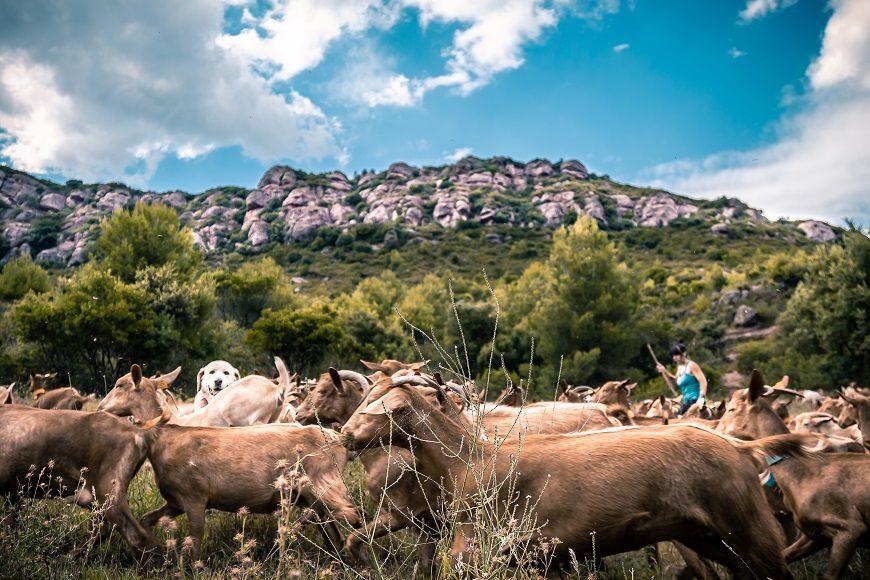cabras sueltas en el campo, en un día soledado. Al fondo se ve a la ganadera